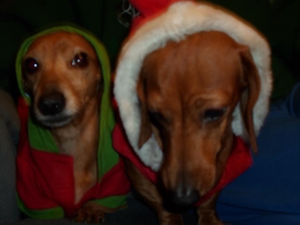 Merry Christmas from NC ) photo via I love Dachshunds