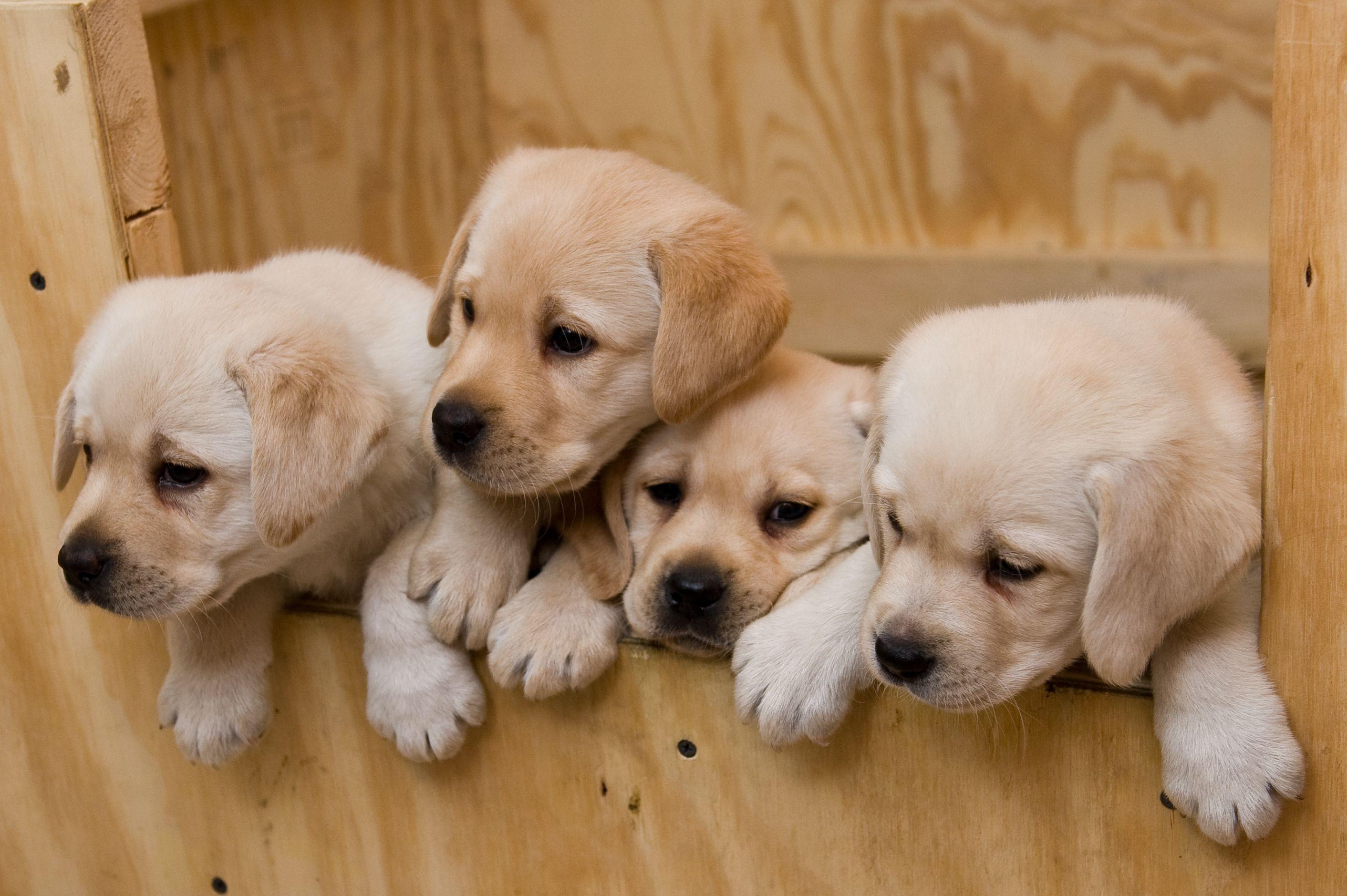 Image detail for Kokomo Labrador Puppies Howell, MI