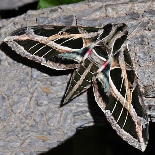 Sphinx Vinevine Sphinx Moth Butterfly Photos Butterfly