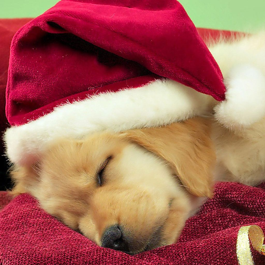 Download your favorite Christmas dogs wallpaper from our