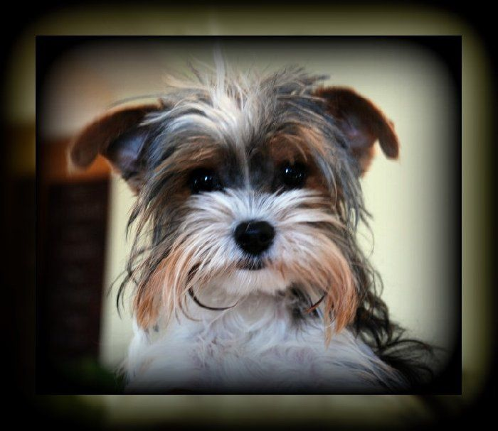 Teacup Yorkie From Utah Looking Like A Tv Star Http Dogculture Net Puppies For Sale Ckc Parti Teacup Yorkie Male 64 Teacup Yorkie Puppies For Sale Yorkie