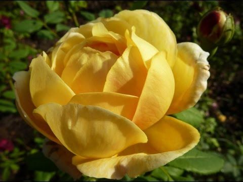 English Rose Rose Plant Plant Information Urdu Hindi Planting Roses English Roses Plants