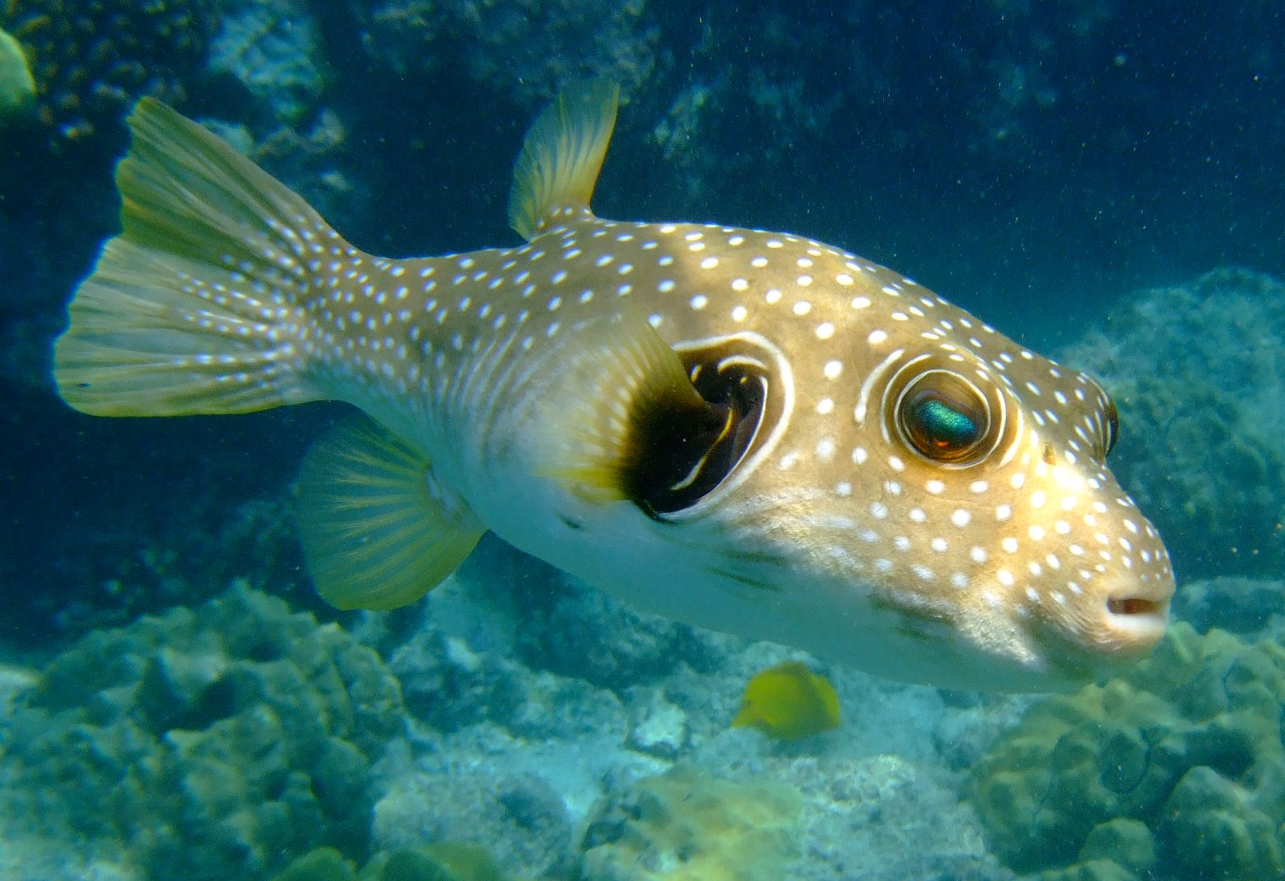 The Eye Of The Puffer At Pu Uhonua O Honaunau National Historical Park Tropical Fish Fish Pet Fish