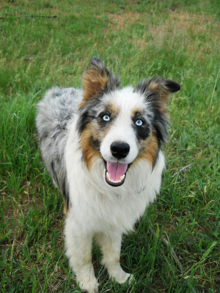 Border Colly Photo Collie Border Collie Best Dog Breeds