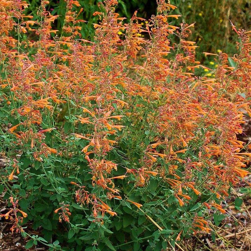 agastache aurantiaca 39 apricot sprite 39 hysope vivace orange anis jardin pinterest. Black Bedroom Furniture Sets. Home Design Ideas