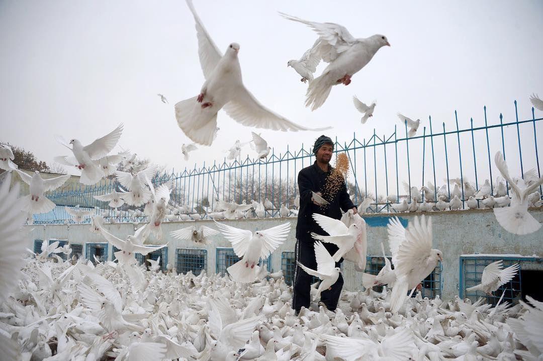 رجل أفغاني يطعم الحمام في باحة المسجد الأزرق الشهير في مزار شريف بالصور افغانستان مزار شريف Bbcsnapshot Photogra Blue Mosque Mosque Pictures Of The Week