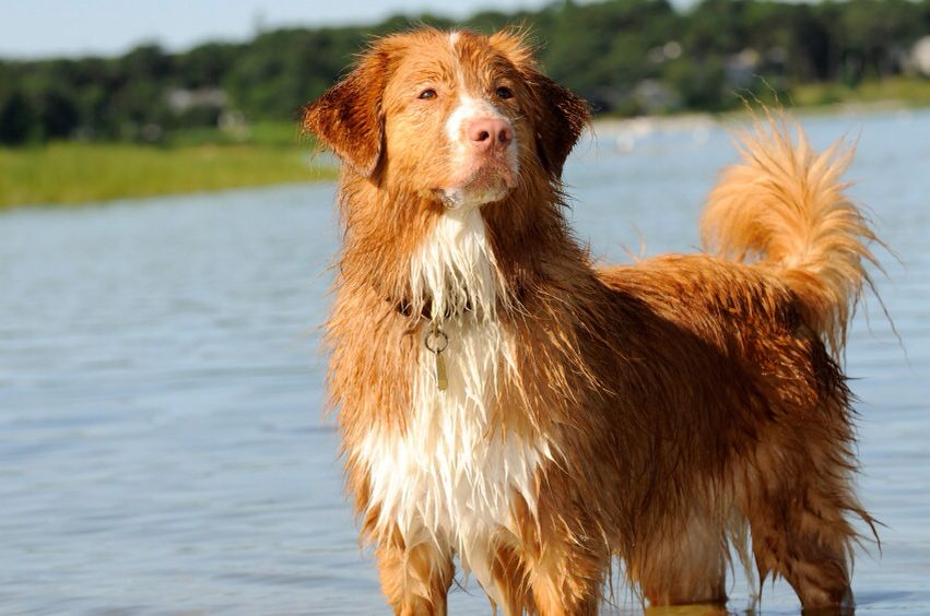 Novia Scotia Duck Tolling Retriever I M Not A Big Fan Of Most Retriever Breeds But The Duck Toller Ranks As One Of