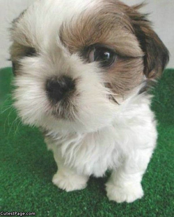 Meet Boo The World S Cutest Dog Cute Dogs Cute Puppies Dog Pictures