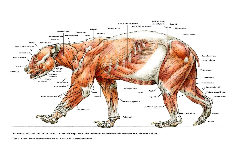 Image result for bear ears anatomy | anatomeyAnimal | Pinterest ...