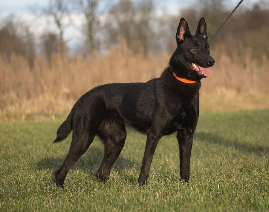 Www Wolfsbanek9 Com Black Belgian Malinois K9 Toivio Black Belgian Malinois Belgian Malinois Puppies Malinois Puppies