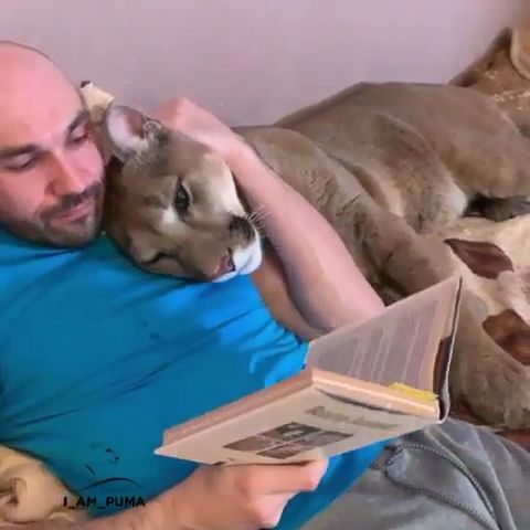 Man & big cat enjoying the book reading please follow Animals Board for more videos