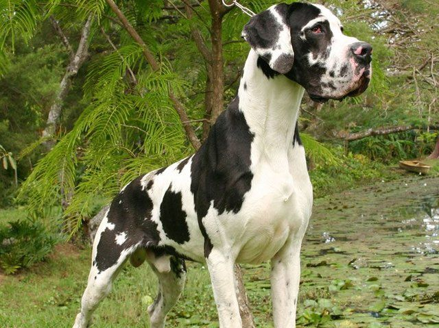 Quiz Can You Name The Popular Dog Breeds Great Dane Dogs Dane