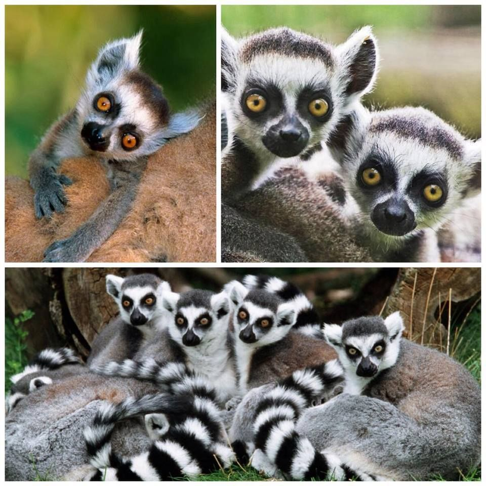 Lemurs - ring tailed, so beautiful from Madagascar Grace Milella