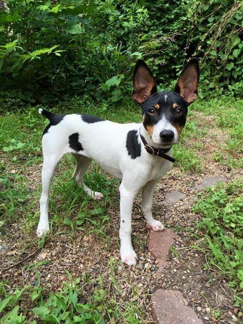 6 Month Old Rat Terrier Rat Terrier Puppies Pitbull Terrier