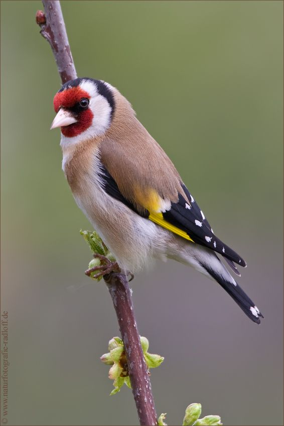 ~Stieglitz~ (mit Bildern) Exotische vögel Hübsche vögel