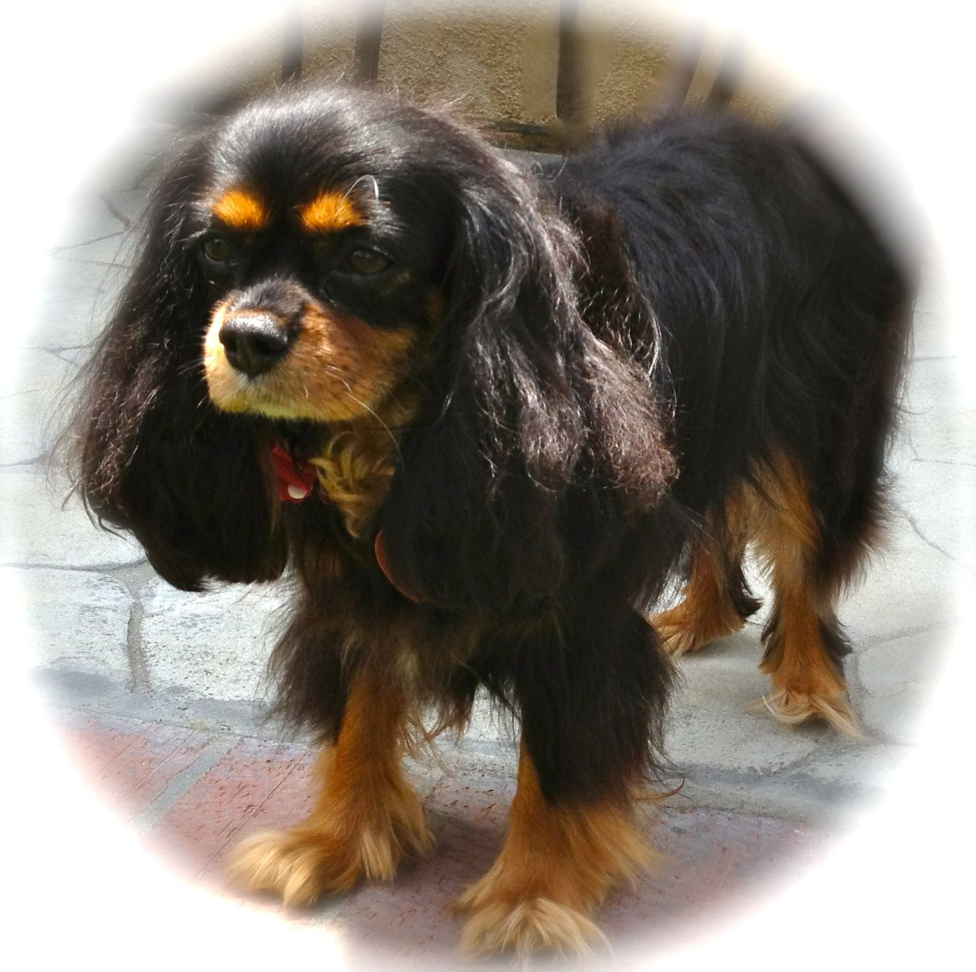 Tiny Bella our 10 pound Cavalier King Charles Spaniel