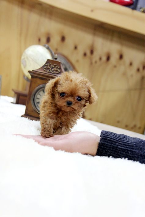★Teacup puppy for sale★Teacup poodle Gretel for U