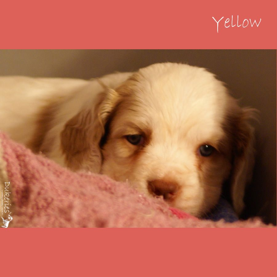 Clumberspaniel Puppy Dukeries Clumberspaniel Puppies Clumber Spaniel Baby Kittens