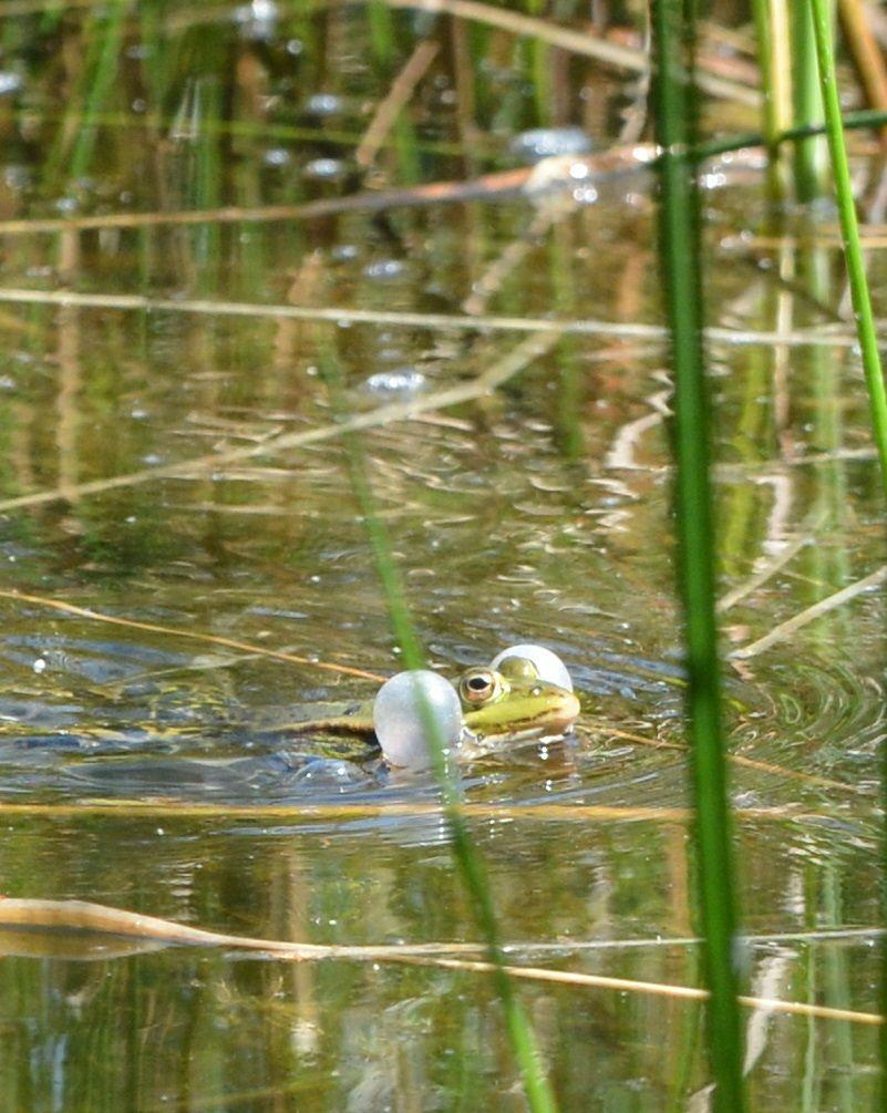 Amsterdamse waterleidingduinen 2015-05-15 Arno Ooms. Groene kikkers, luid aan het kwaken in de vijver, wel op grote afstand en door het vele riet vaak wel te horen, maar lieten zich bijna niet zien.
