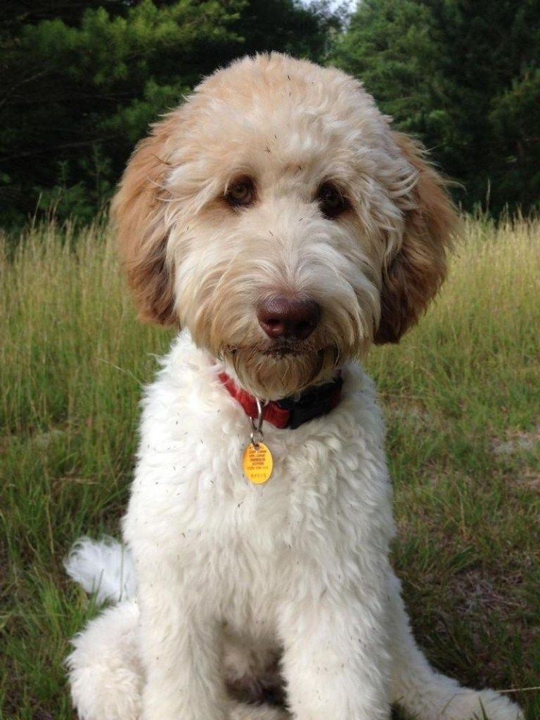 types of goldendoodle haircuts google search pretty image result for types of goldendoodle haircuts