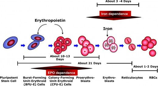 erythropoiesis diagram Cellular Structures Movie posters