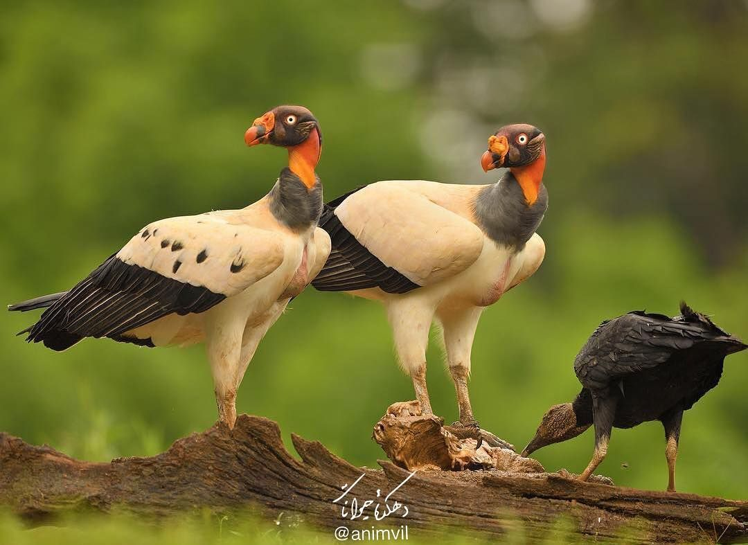 The king vulture Sarcoramphus papa is a large bird found in