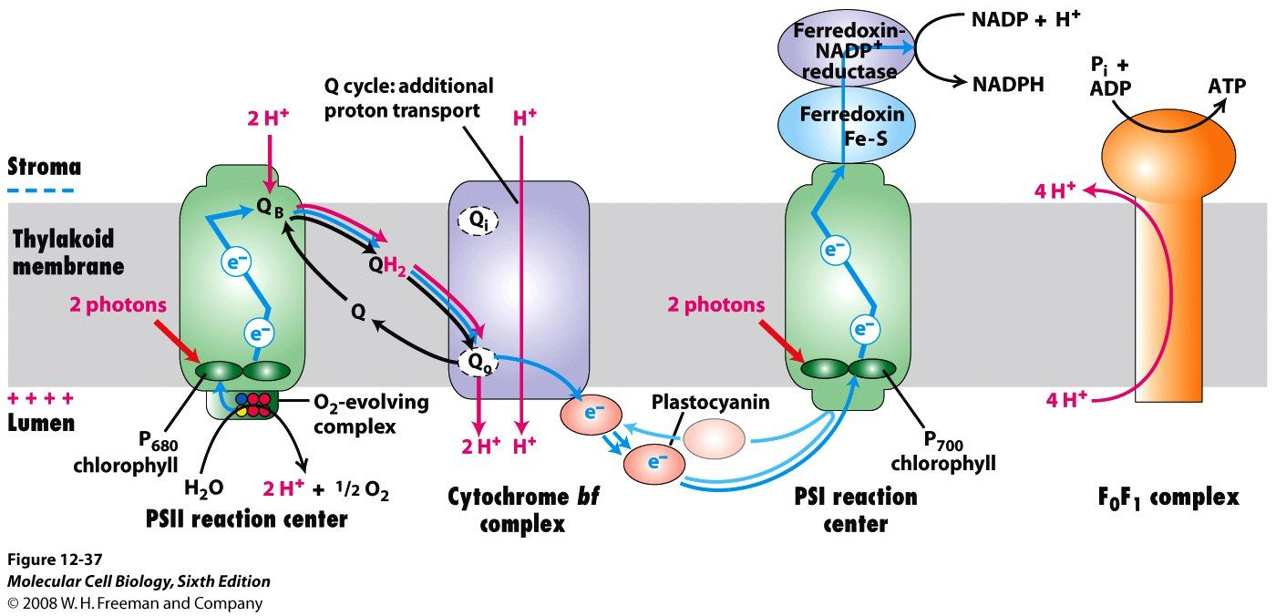 Pin By Victoria Tai On Biochemistry Photosynthesis Biochemistry Chemical Reactions