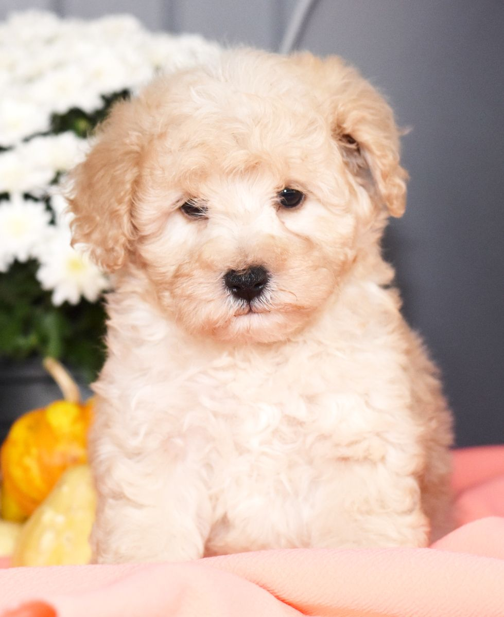 Puppies for Sale Schnoodle puppy
