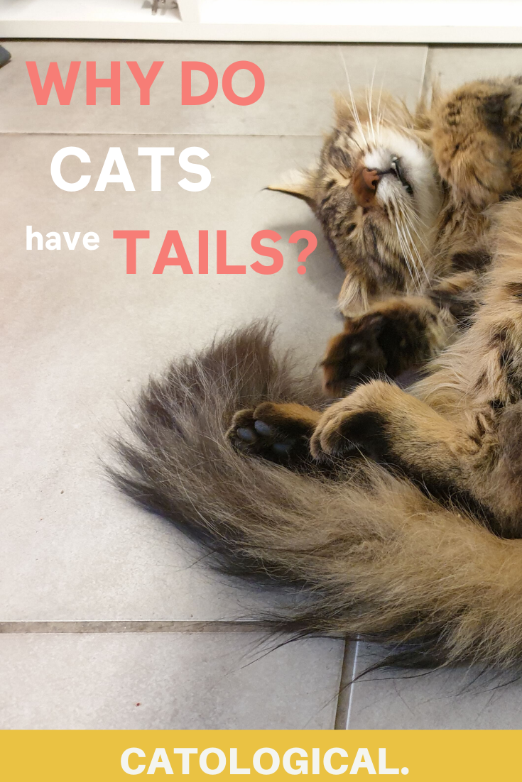 Why Do Cats Have Tails Is There Really A Purpose Cat Tail Facts In 2020 Cats Cat Facts Cat Anatomy