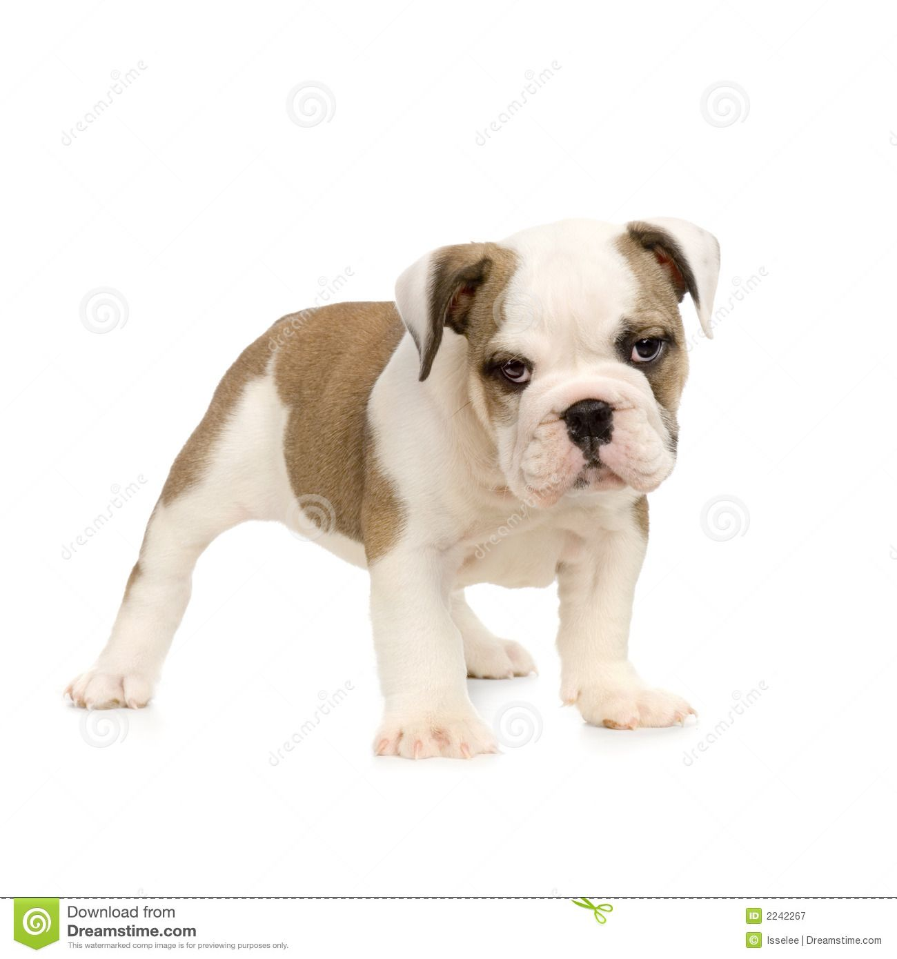 English Bulldog Puppy Bulldog Puppies Bulldog French Bulldog Dog