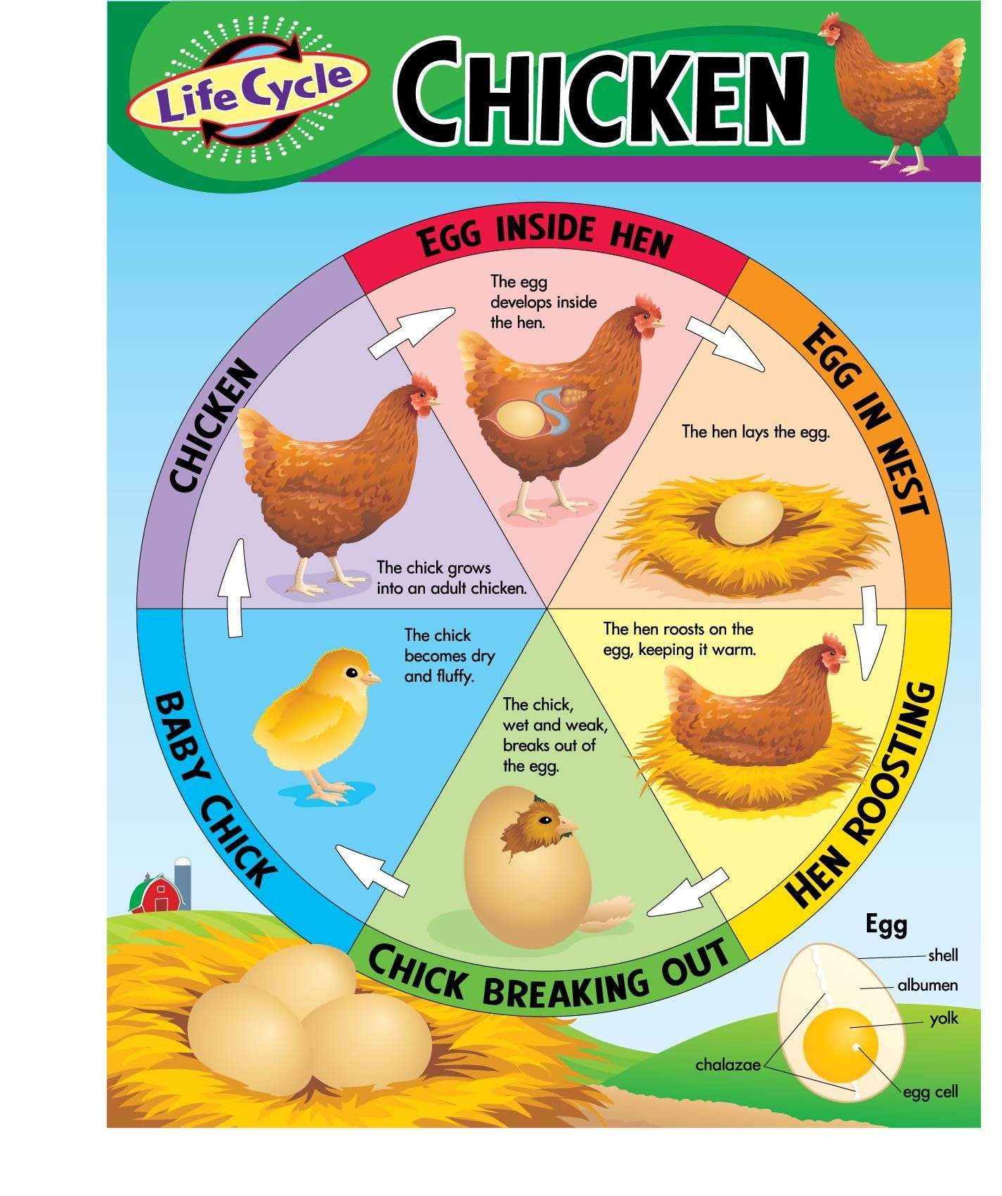 Uncategorized Chicken Life Cycle Worksheet original 55536 sk4rzepmln9ohl4rh1zjf5wpk jpg trend enterprises inc chart life cycle of a chicken on sale now find all your educational supplies at huge discounts dk cla
