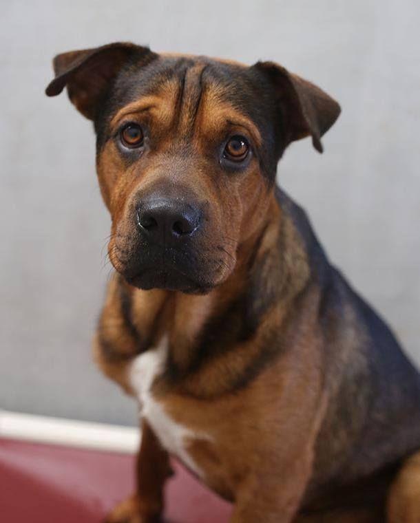 Shar Pei Staffy Cross Pets Dogs Animals