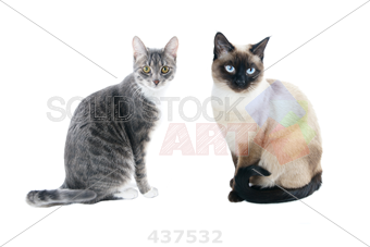 Stock Photo Of Silver Grey Tabby Cat With White Chest And Paws