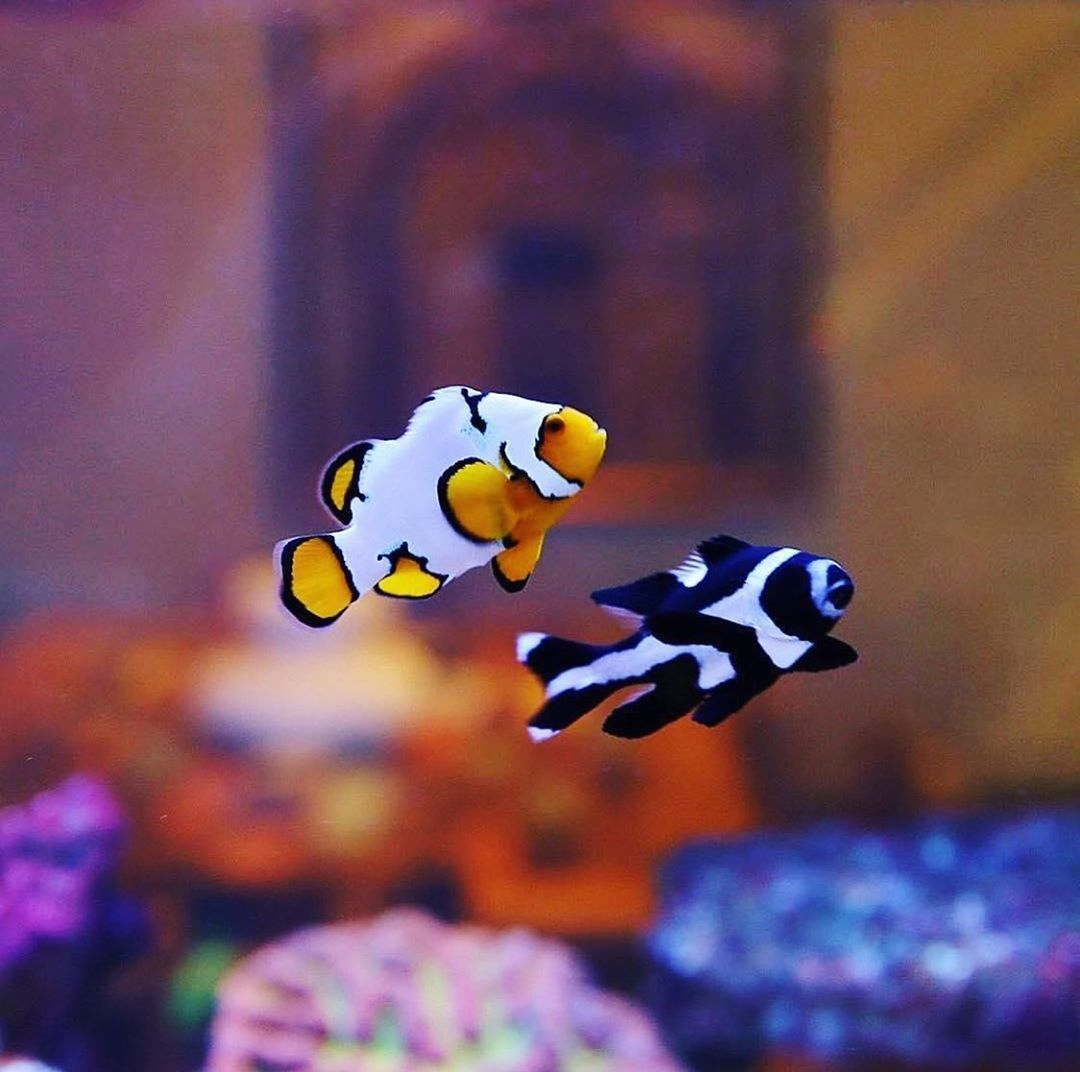 Best Friend Forever Best Friends Forever Clown Fish Saltwater Fish Tanks