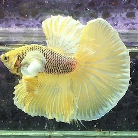 Pin By Jessica Parsons On Fish Betta Betta Fish Tank Betta Fish