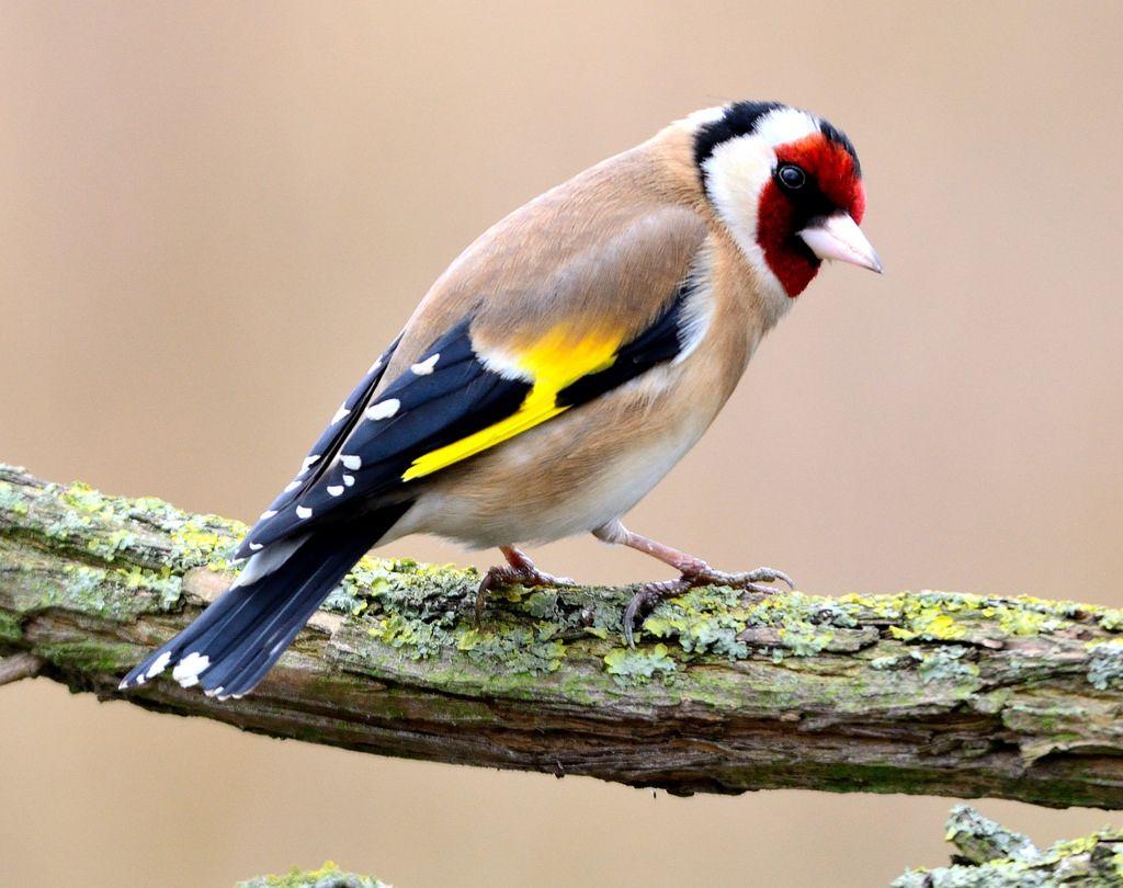 black finch bird - Cerca con Google