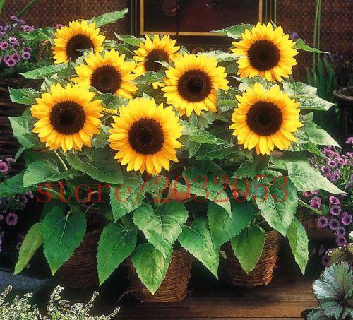40 Draft Sunflower Seeds Mini Sunflower 40cm 40seeds Helianthus Annuus Flower Seeds For Flower Pot Planters Dwarf Sunflowers Flower Seeds Sunflower Flower