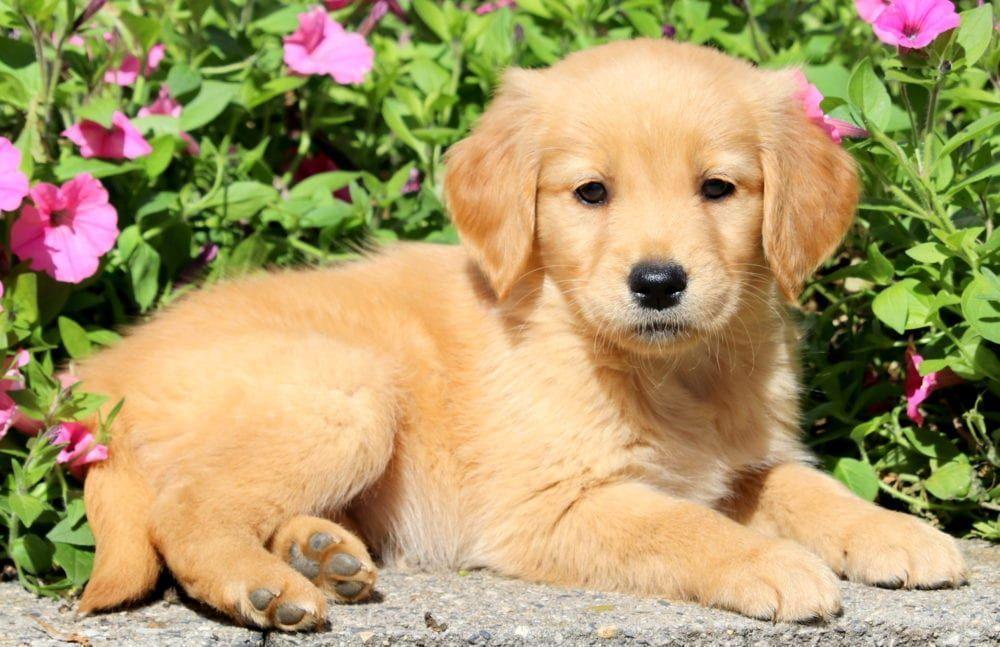Roxy Keystone Puppies Puppies For Sale Health Guaranteed