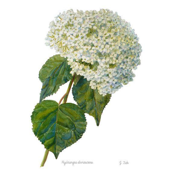 Hydrangea Botanical Print Illustration Hills of by ZehOriginalArt, $24.00