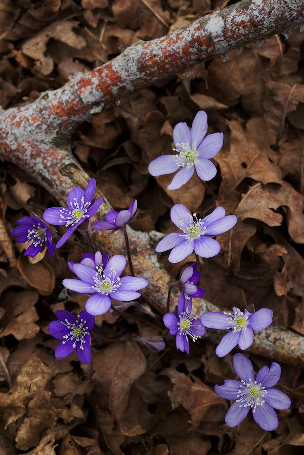 Some more Anemone hepatica, this time in their normal blue color.