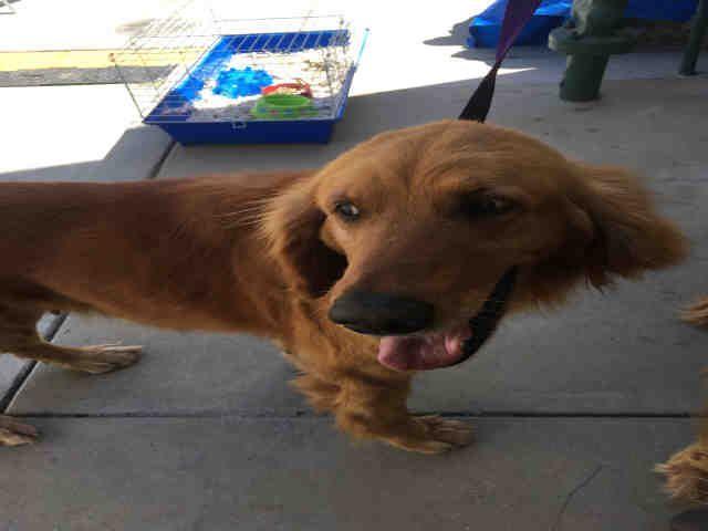 Golden Retriever Dog For Adoption In Rancho Cucamonga Ca Adn
