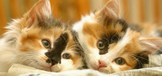 <3  Calico kittens