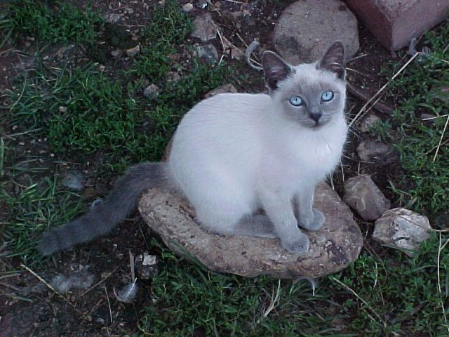 Blue Point Siamese Cat I Love To Watch My Cat January Play Out