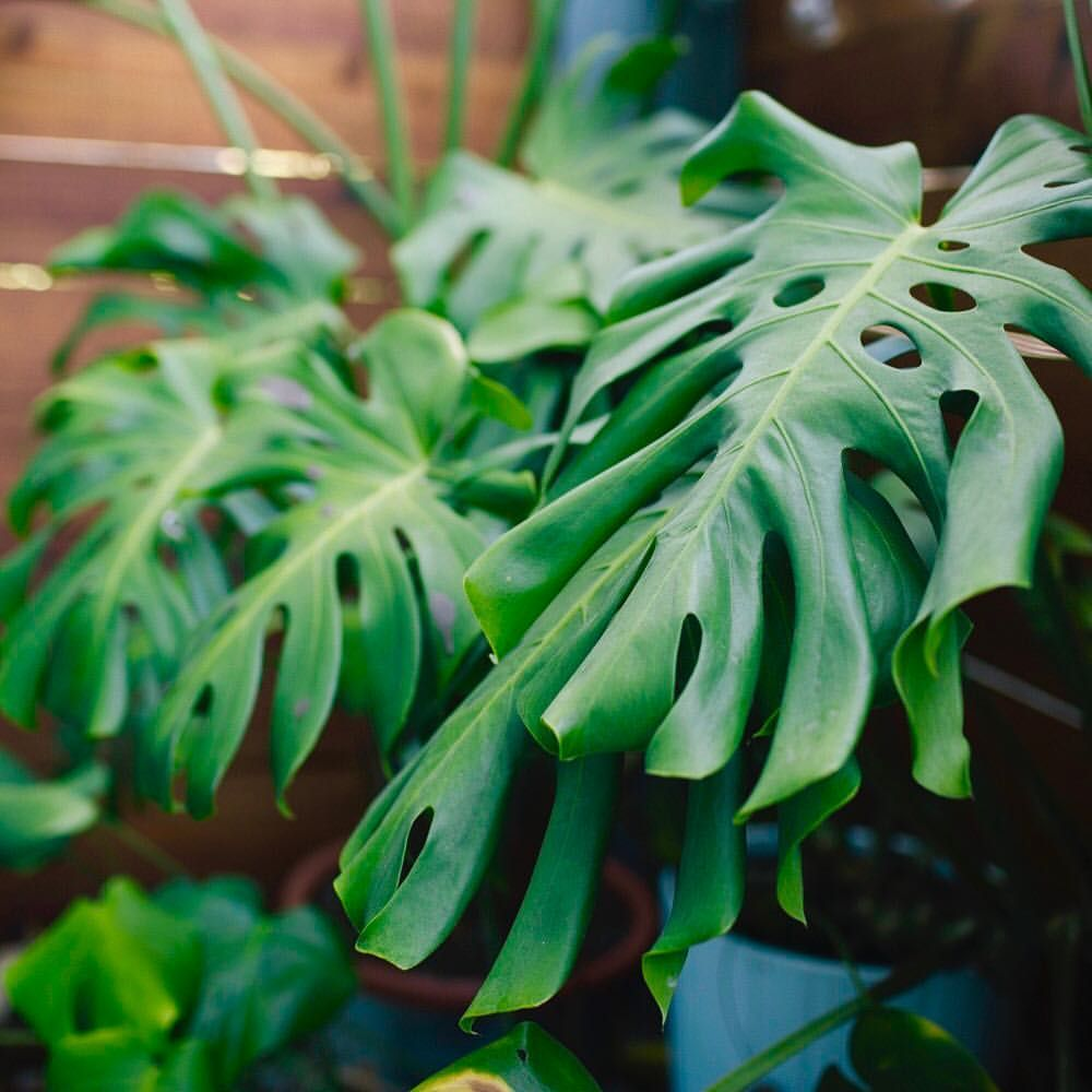 Do You Have A Name For Your Monstera Comment Below With Her Name Ohmymonstera Monstera M Monstera Monstera Deliciosa Plant Leaves