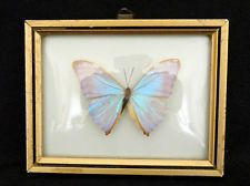 Awesome Dome Glass Framed Real Butterfly Pink Blue MORPHO Art Specimen