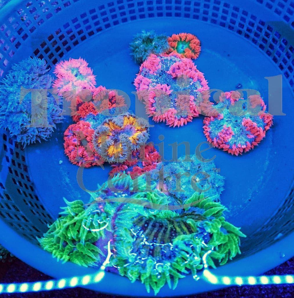 Rock Flower Anemones Tmc Tropicalmarinecentre Tmclookforthelabel Rockanemone Rockfloweranemone Saltwater Tank Saltwater Aquarium Fish Saltwater Aquarium
