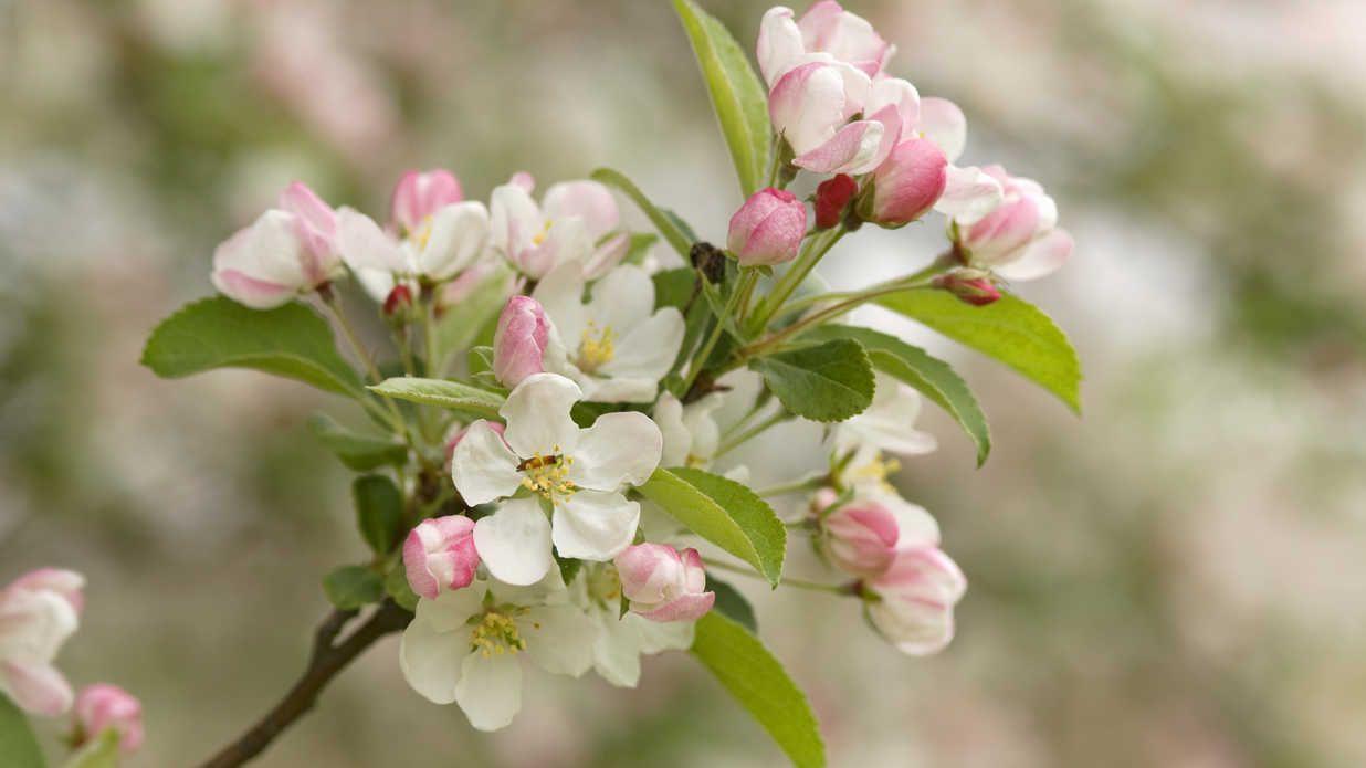 Flowering Crabapple Tree Flowering crabapple, Flowering