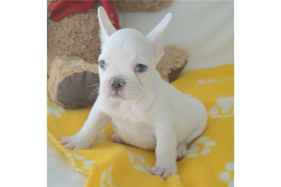 Adorable Frenchbulldog Puppies Forsale Adopt Dogs Hongkong