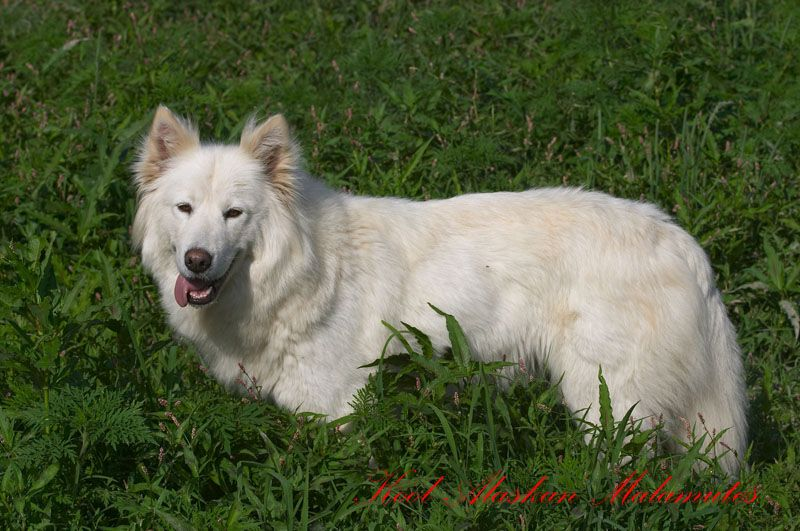 Scahtzi Ii Was An Alaskan Malamute That Loved My Mom She Was