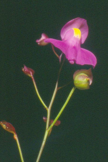 Utricularia longifolia- detalhe da  flor